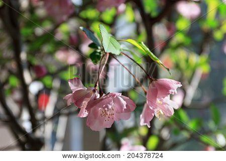 Flower Of Malus Halliana