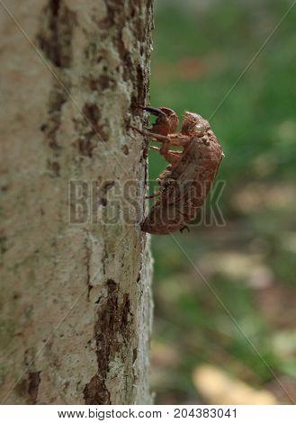Molt Of Cicada On Tree Bark, Exoskeleton Cicada