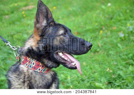 Head of German Shepherd dog close up meadow in background