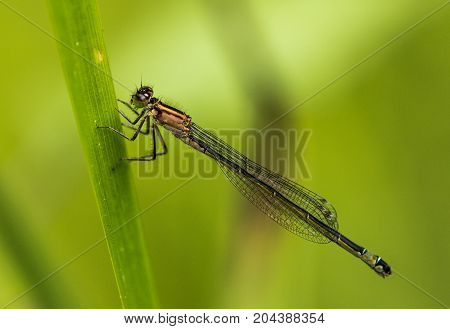 A Female Blue-tailed Damselfly holding onto some pond reed in Bedford Park Essex