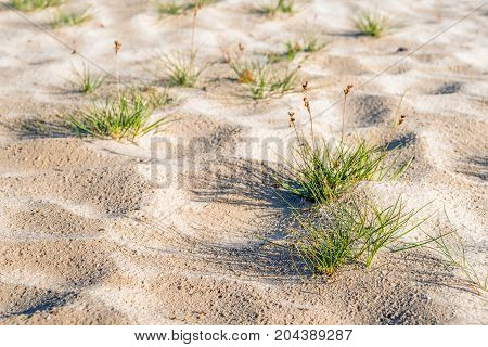 Closeup of gray clubawn grass or Corynephorus canescens in a desertlike area in a Dutch National Park.