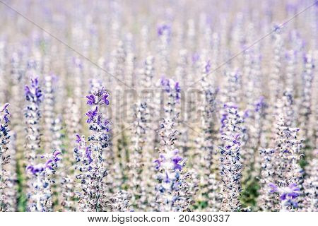 Lavender flowers in the field. Detailed natural scene. Beauty photo filter.