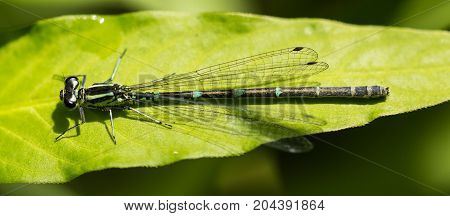 Female Southern Damselfly sitting on a leaf in a nature reserve in Essex