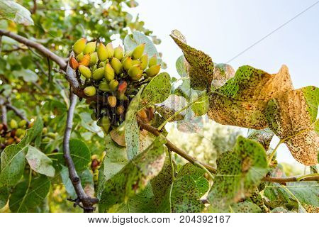 Green unripe pistachio on tree with leaves at plantation.