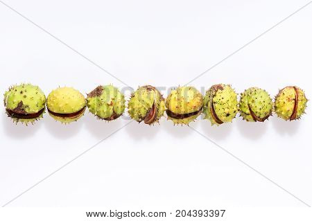 Row of chestnuts isolated on white, fruits chestnut, Aesculus hippocastanum