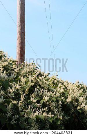 Tall hedge of Himalayan fleece vine invasive species, vertical aspect
