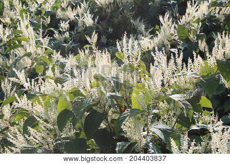 Monkey fungus knotweed invasive species in autumn bloom, horizontal aspect
