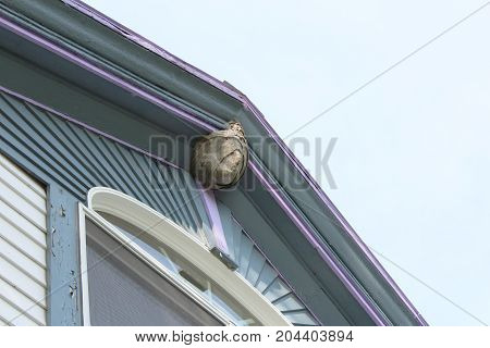 Paper wasp nest attached to the roof peak of an old house