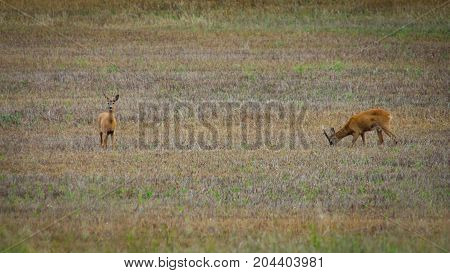 Two roe deers standing on a field.