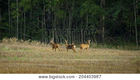 Three roe deers standing on a field, with forest behind