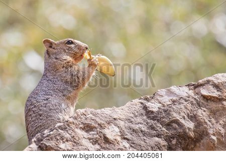 Rock Squirrel eating a banana leaf left by a hiker in the Grand Canyon AZ