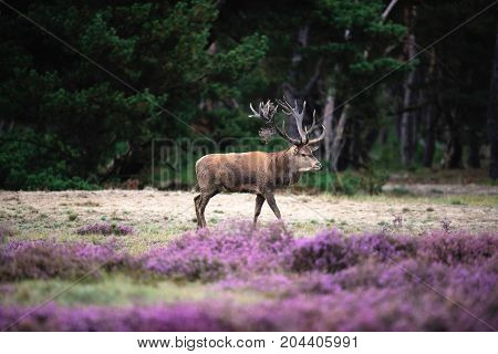 Solitary Red Deer Stag In Moorland With Blooming Heather.