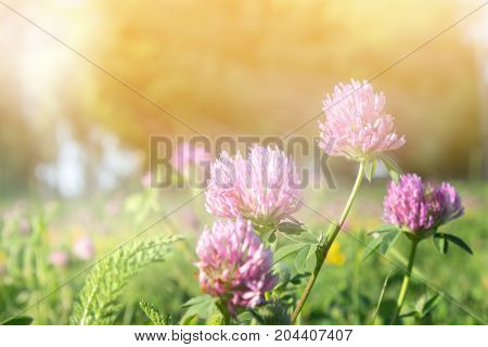 Beautiful pink flowers of clover Trifolium on a background of green grass. The sun shines brightly.