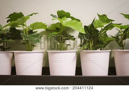 Artificial Golden Pothos Hunter's Robe Ivy Arum Plants and Alocasia Plants in A Metal Pot for Home and Office Decoration without The Care.
