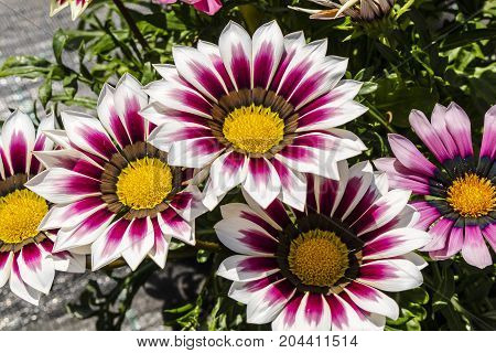 Large flowers of deep pink and white Gazania plant.