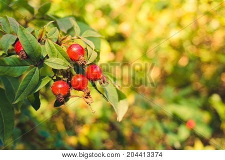 Close-up of Red Rose Hips on Branches. View on Red Rose Hips in Sunlight. Nature Backgrounds