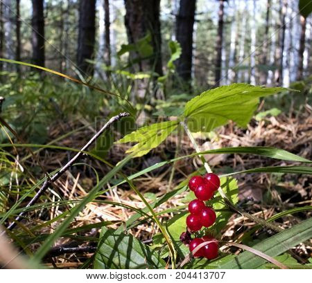 Wild Forest Stone Bramble Berry