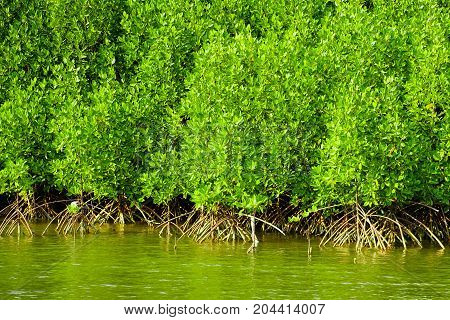mangrove forest in thailand , nature of thailand