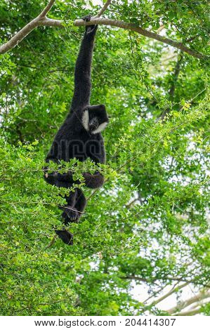 Gibbon hanging in the tree , Thailand forest