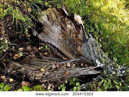 Split Trunk Of A Fallen Birch