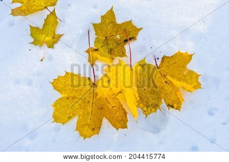 Yellow leaves on a snow, beginning of a winter in Fruska gora mountain, Serbia