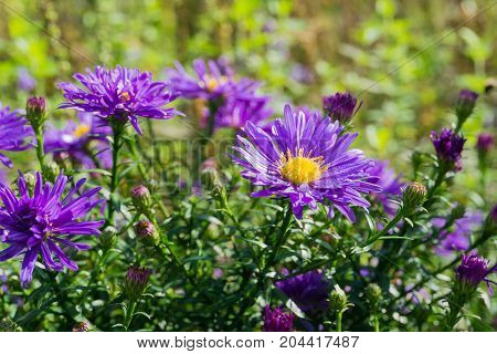 Close-up of beautiful Aster (Boreal Aster) Flowers in Spring. View on blooming Aster Flowers in Sunlight. Blooming Flowers. Spring Flowers.