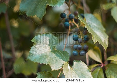 Branches of a vine with a blurred background