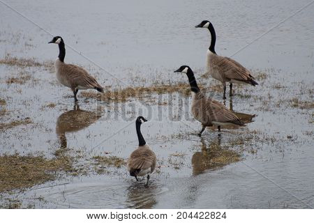 Four Canada Geese Walking Through Sturgeon Creek, Winnipeg, Manitoba, Canada