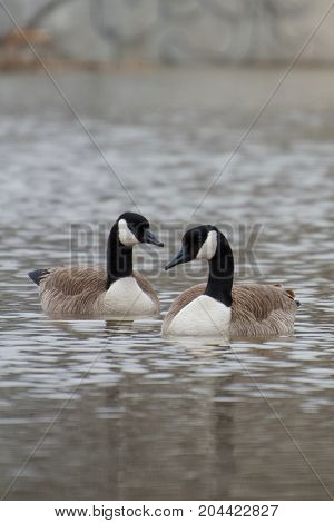Two Canada Geese Wading Through Sturgeon Creek, Winnipeg, Manitoba, Canada