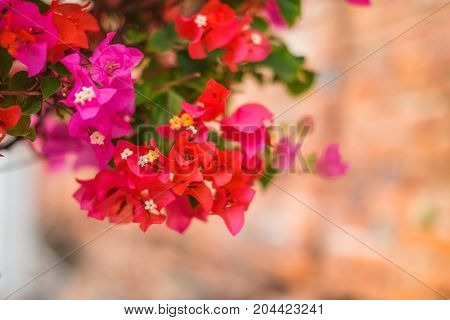 The beautiful Bougainvillea Flowers blooming in the garden.