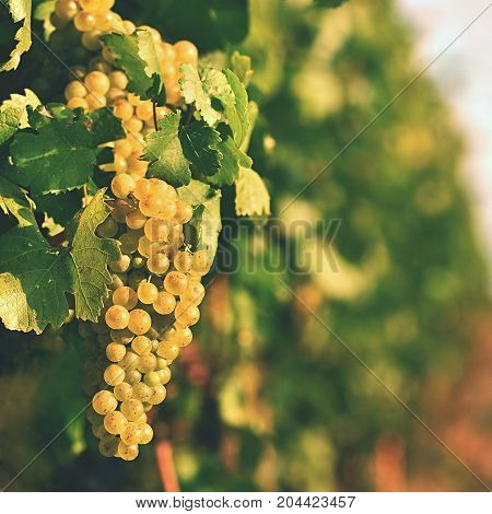 Vineyards at sunset in autumn harvest. Ripe grapes.Wine Region Southern Moravia - Czech Republic. Vineyard under Palava.