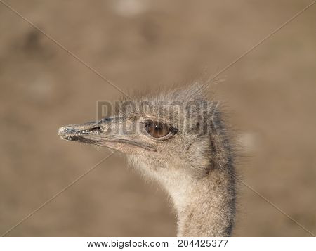 head of the African ostrich photo closeup
