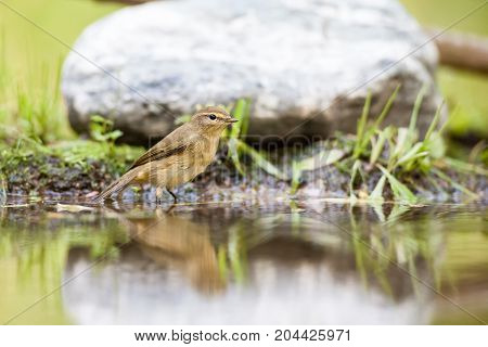 In the forest there is a Eurasian wren in the water