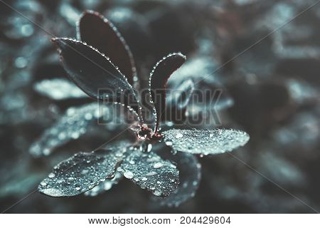 Branch of dark leaves with fresh water droplets closeup - natural background. Vintage toned filter shallow depth of field.