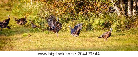 Panoramic view of Wisconsin wild turkeys fighting