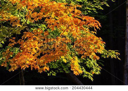 Colorful Wisconsin maple tree in September with black background