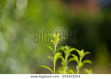Stevia Plant, Healthy Sweetener And Natural Substitute Of Sugar. Selective Focus On Young Lush Green