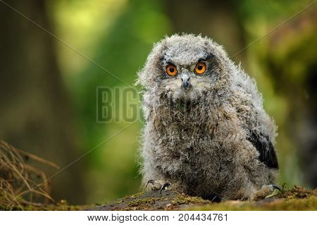 Young eurasian eagle owl in forest. Cute fluffy baby owl