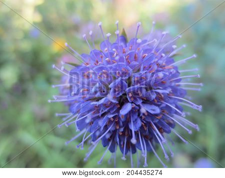 A spherical blue field flower on green leaves background in Sunny day.