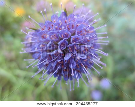 A spherical blue field flower on leaves background in Sunny day.