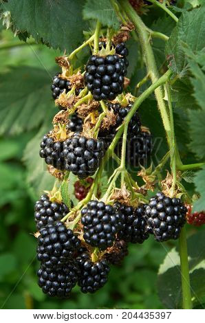 Blackberries On The Bush