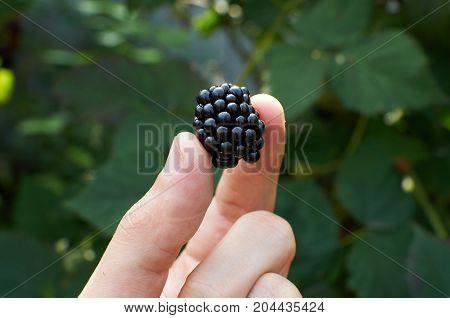 Big Ripe Blackberry In A Hand