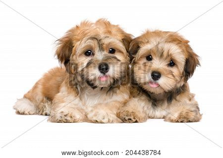 Two cute havanese puppies are lying and looking at camera - isolated on white background