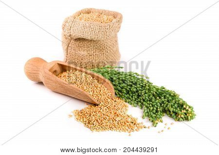 Millet in a bag with green spikelets isolated on white background. Food for parrots.