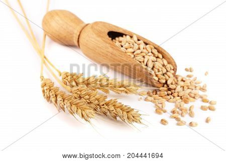 wheat spike and wheat grain in a wooden scoop isolated on white background.
