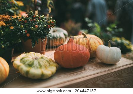 Multiple pumpkins of various form type color and size are laying on wooden shelf near zucchini flowers and decorative fruits in pots after autumn gathering shallow depth of field