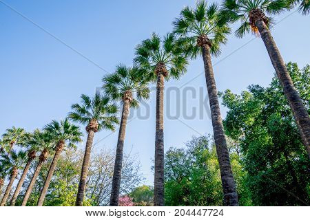 Scenic Tall Palm Trees In Nicosia City Public Park, Cyprus