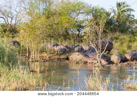 Herd Of Hippos Sleeping, Isimangaliso Wetland Park, South Africa
