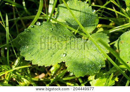 morning dew on grass, dew drops on leaf,