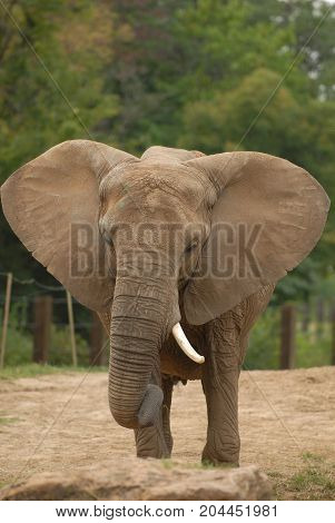 An African elephant with ears flared and tusk showing.
